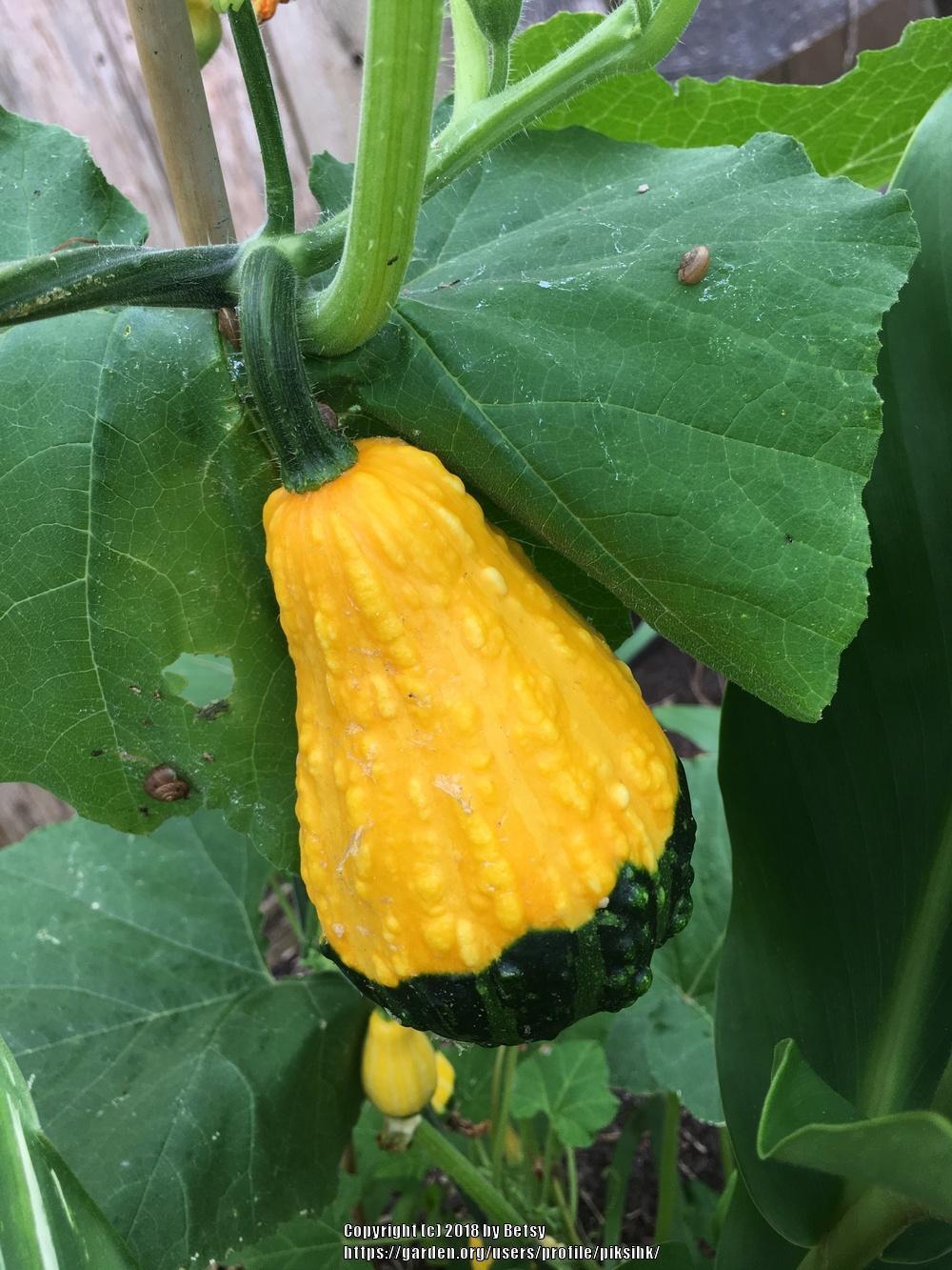 Ornamental Gourd (Cucurbita pepo var. ovifera) in the Gourds ...