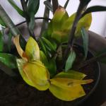 Ask A Question Forum Why Is My Zz Plant Dying Garden Org