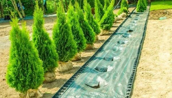 Agrotekstilė 110 g.kv/m - 3,2 m x 50 m žalios sp. —  zalia agrotekstile sodinukams