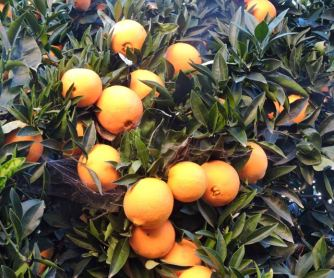 Our navel oranges in early December