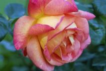 Hybrid Tea (photo credit: gardening.about.com)