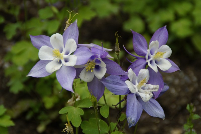 columbine, drought-tolerant shade plants, columbine flowers, columbine plants, flowers for shady gardens