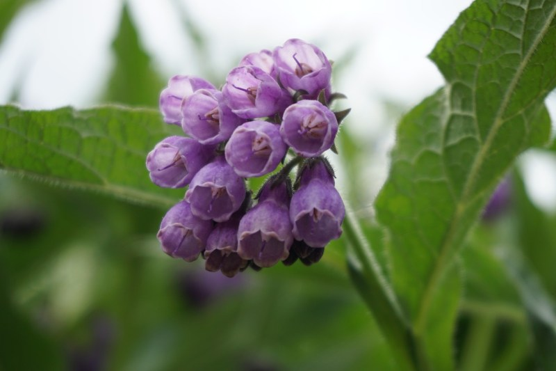 vegetable companion planting, companion planting, comfrey, beneficial plants, mulch, nitrogen fixers