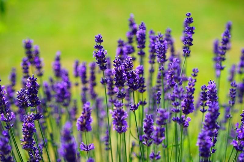 medicinal flowers, medicinal plants, lavender, lavandula, healing lavender