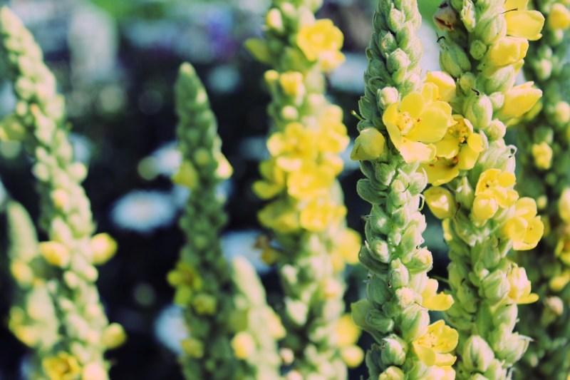 medicinal flowers, herbalism, herbal medicine, mullein, greater mullein, verbascum thapsus