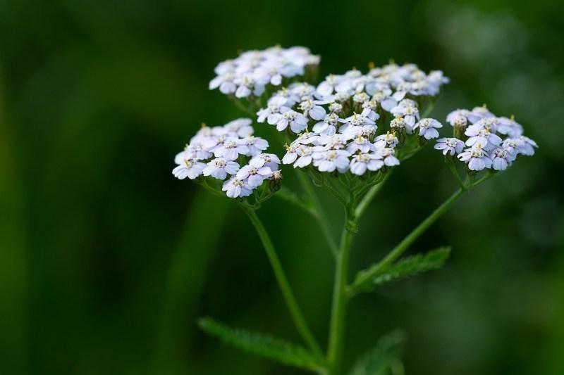 medicinal flowers, medicinal plants, herbal medicine, yarrow, Achillea millefolium