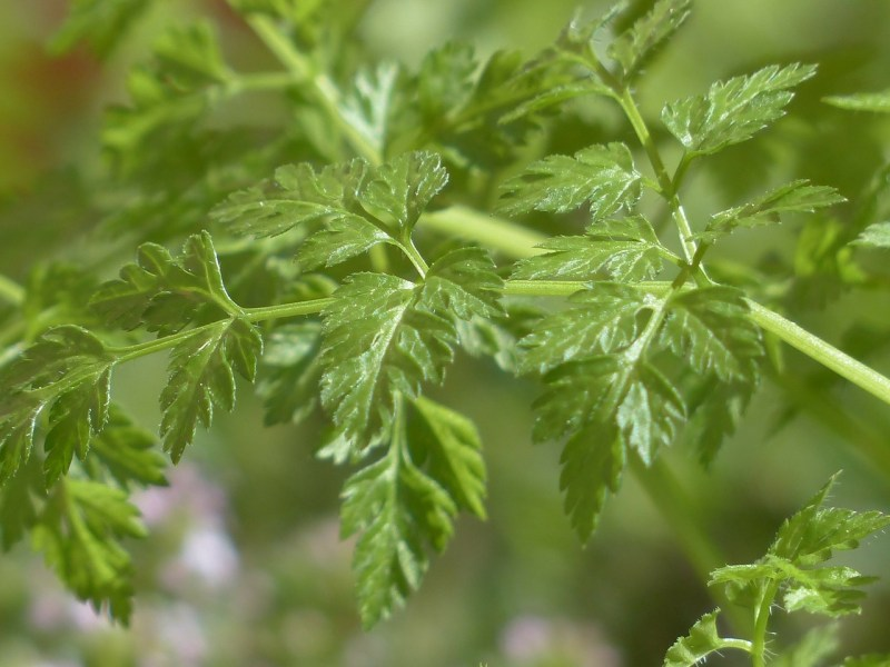 herbs that grow in the shade, herbs for shade, herbs for shady spots, herbs that grow in shade, chervil, chervil shade herb, growing chervil