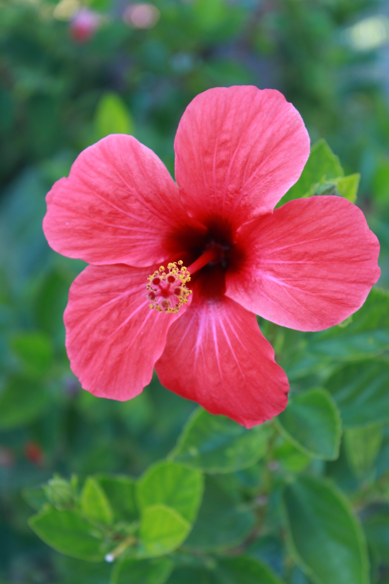 Your ultimate guide to growing a perfect hibiscus plant garden and your ultimate guide to growing a perfect hibiscus plant izmirmasajfo