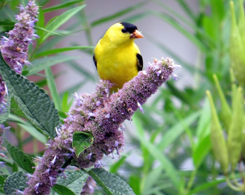 Anise hyssop with bird