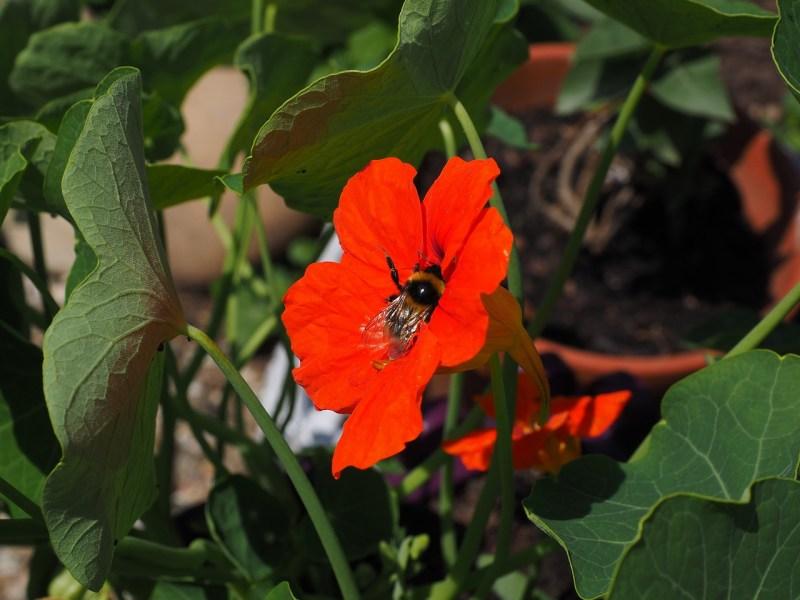 Bee on nasturtium
