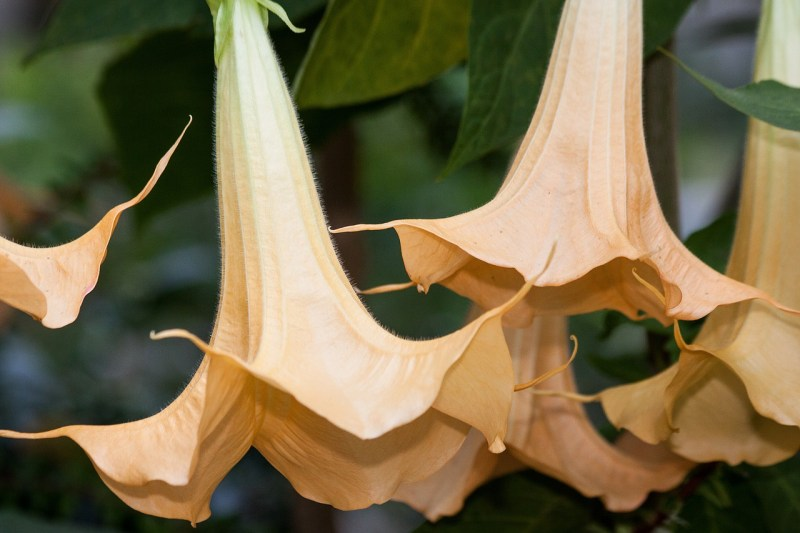 white angel's trumpet