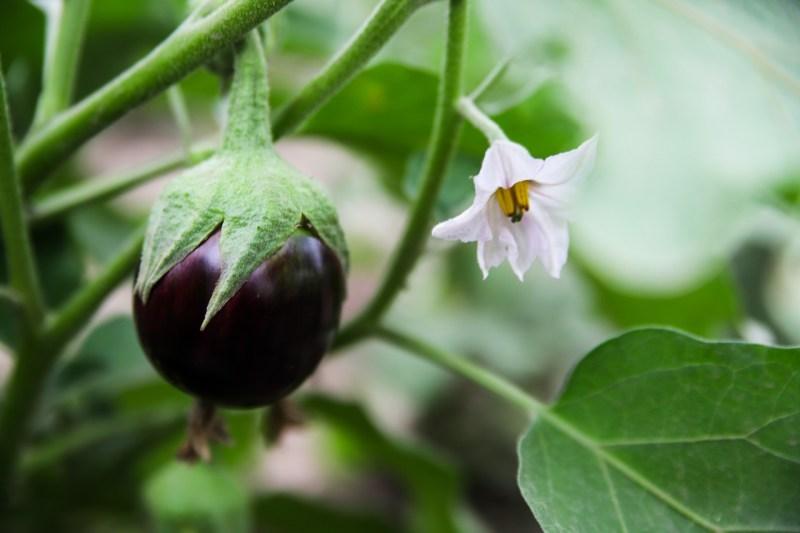 dwarf eggplant