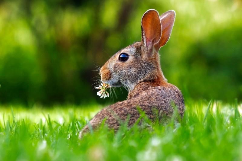 rabbit eating clover