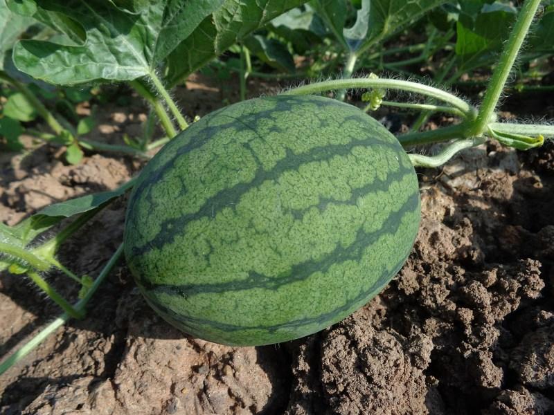 watermelon for deep soil