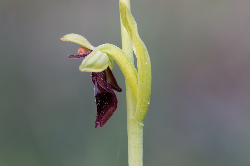 fly orchid