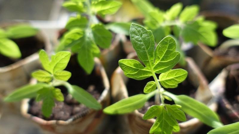 kratky method seedling