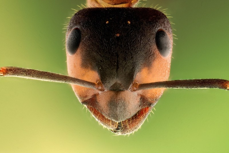 smiling ant
