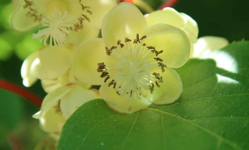 kiwi plant in bloom
