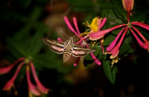 Sphinx moth on coral honeysuckle