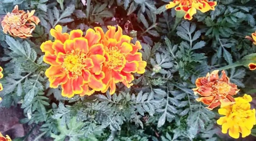 collecting_marigold_seeds