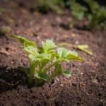 is-potato-root