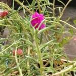 how to care portulaca grandiflora