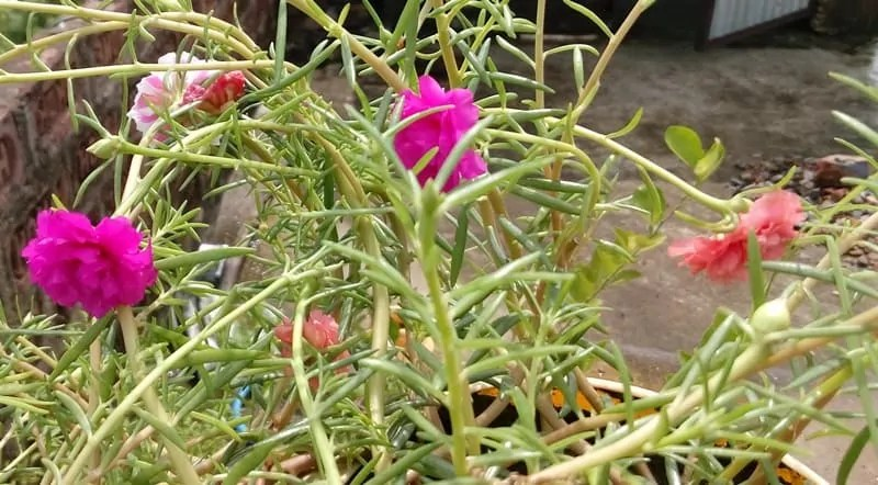 how to care portulaca grandiflora