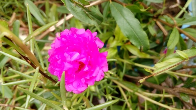 Portulaca Moss Rose How To Grow And Care With Images Garden Bagan