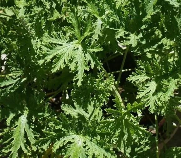 citronella-leaves