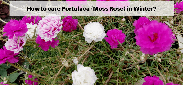 how to care portulaca in winter