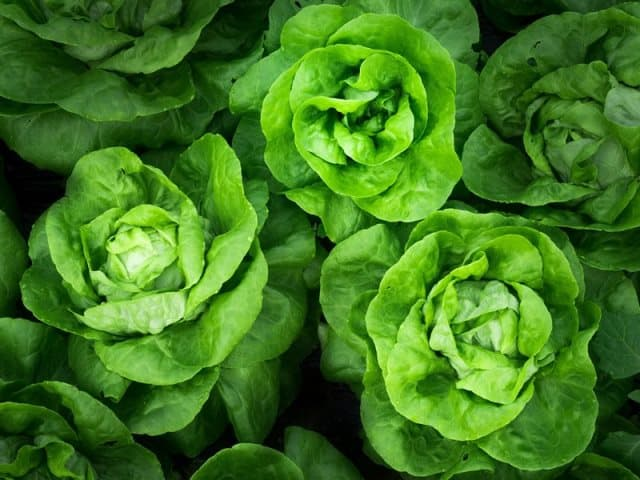 lettuce-vegetables to grow in may