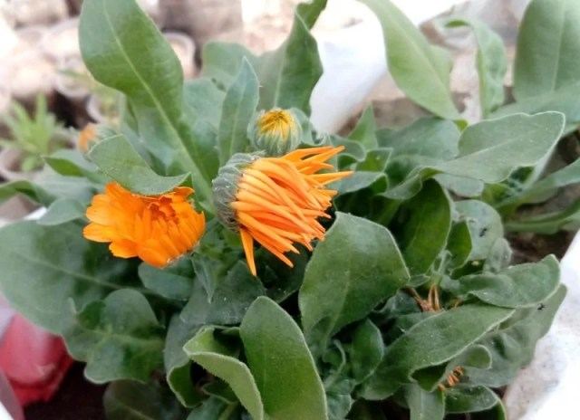 Calendula-flower-buds