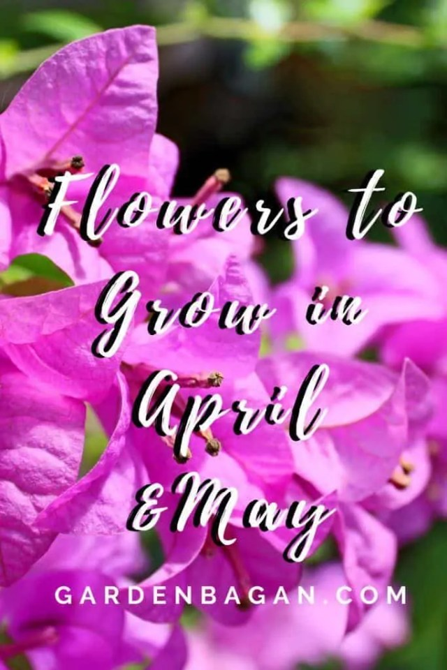 Flowers to Grow in April and May