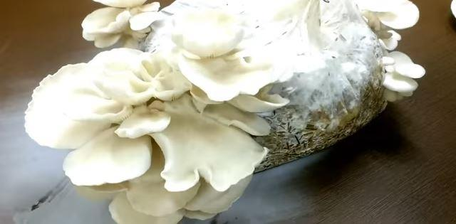 Oyster mushrooms fully grown in 25 days
