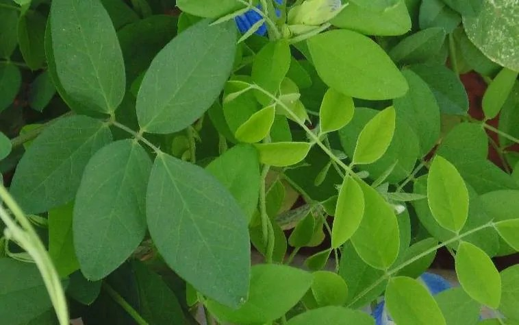 Butterfly-pea-leaves