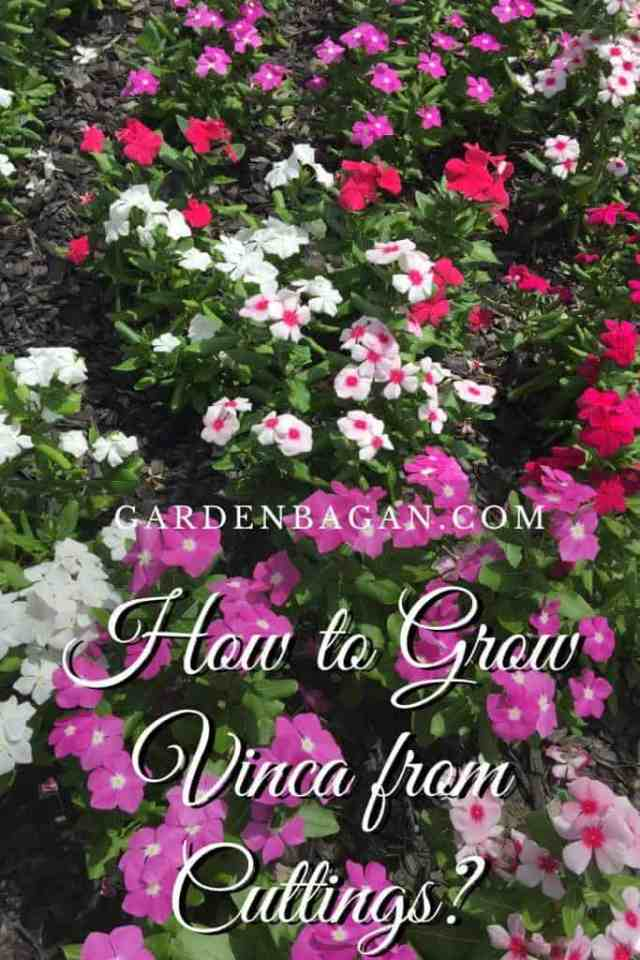 How to Grow Vinca from Cuttings