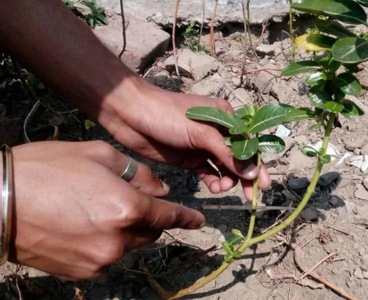 how-to-take-vinca-cuttings