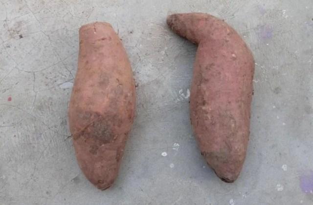 grow-sweet-potato-organic-tuber