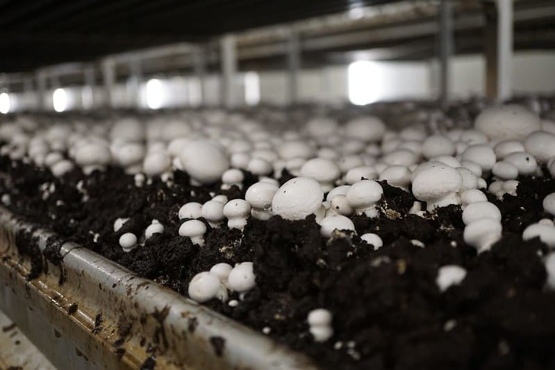 white-button-mushroom-in-compost-bed