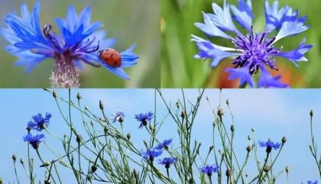 italians flowers Cornflower