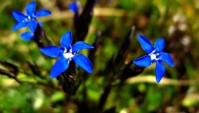 gentiana verna italian flowers