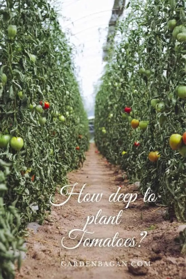 How deep to plant Tomatoes