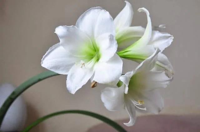 white amaryllis summer flowers
