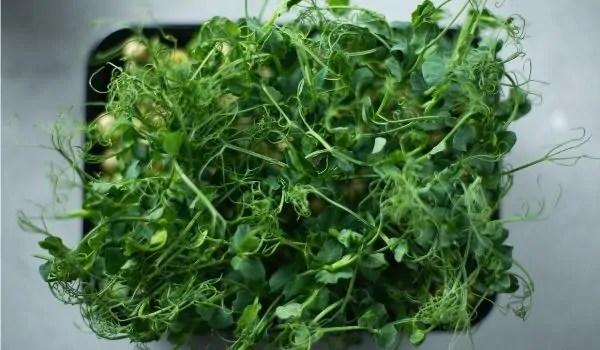 yummy microgreens