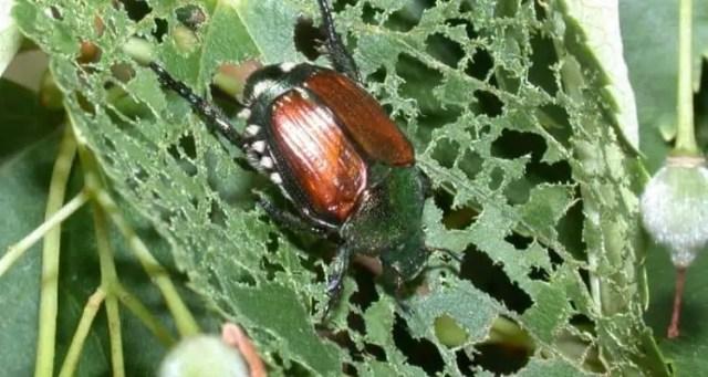 japanese-beetle-infestation