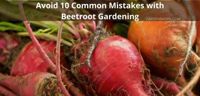 Avoid 10 Common Mistakes with Beetroot Gardening