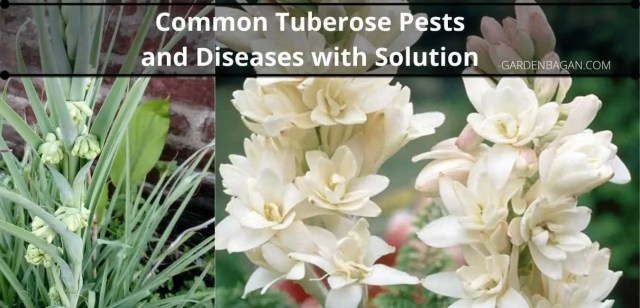 Common Tuberose Pests and Diseases with Solution