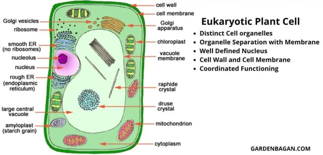 Eukaryotic Plant cell