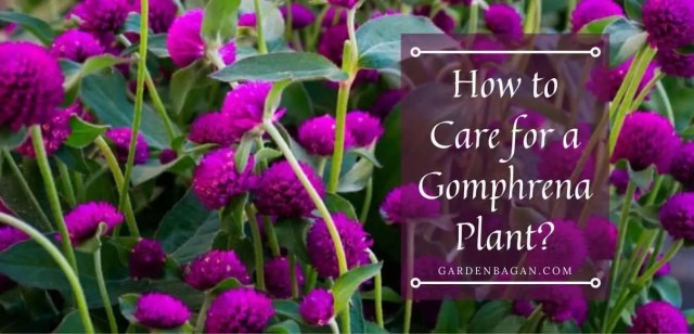 How to Care for a Gomphrena Plant