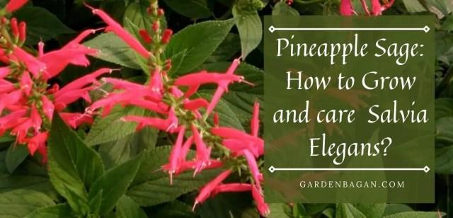 How to Grow Pineapple Sage Salvia Elegans